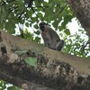 One of the culprits: a Vervet monkey
