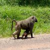 Baboons along the road