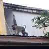 What's that sound on the roof of our house in Nairobi?  A monkey!