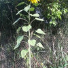 Sunflower from seeds courtesy of a Rocky Ford pray-er and businesswoman